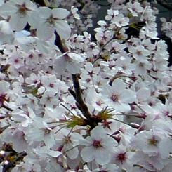 05桜*70.jpg