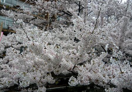 05桜*90.jpg