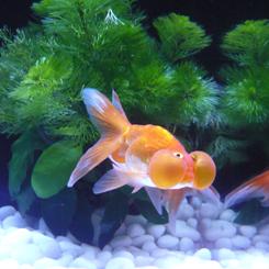 05金魚 水泡眼(スイホウガン)8.9x70.jpg