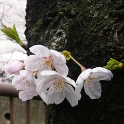 06桜 幹から生え開花 70.jpg