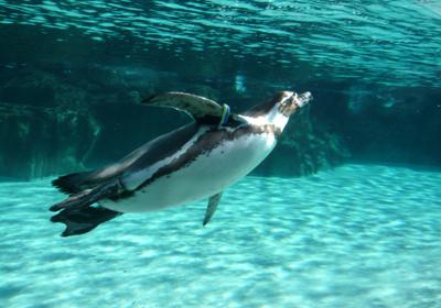 09フンボルトペンギン水中 80.jpg