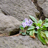 17 P1060117石垣に咲く花*45 8.9x.jpg