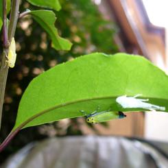 2009.08.24ツマグロオオヨコバイ バナナ虫1 70.jpg