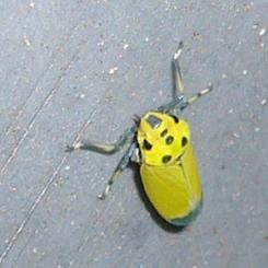 2009.08.24ツマグロオオヨコバイ バナナ虫3 70.jpg