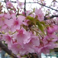 2010.03.01河津桜1 70.jpg