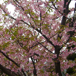 2010.03.01河津桜2 70.jpg