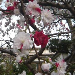 2011.04.10紅白しだれ桜八重拡大2*70.jpg
