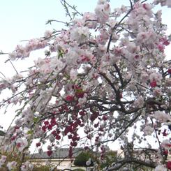 2011.04.10紅白しだれ桜八重*70.jpg