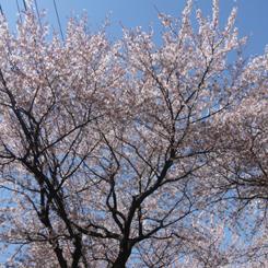 2011.04.13八ヶ崎満開*70.jpg