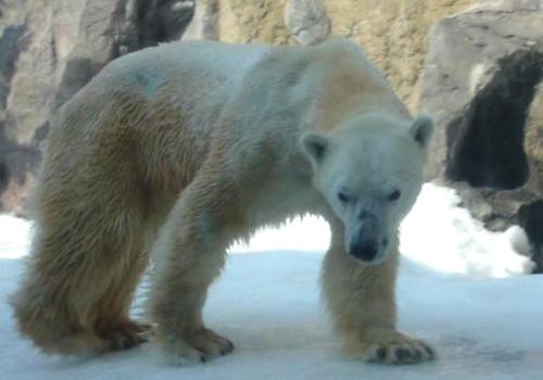 30北極クマ イワン6 100.jpg