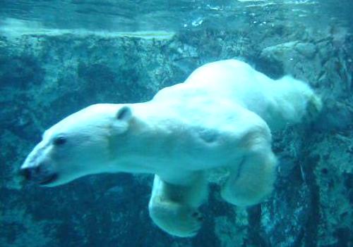 30北極クマ イワン7 100.jpg