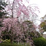 35 P1060100しだれ桜*45 8.9x.jpg