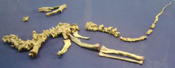 527スタウリコサウルス レプリカ 70.jpg