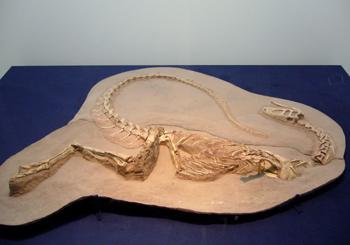 538ノアサウルス科 実物一部復元 70.jpg