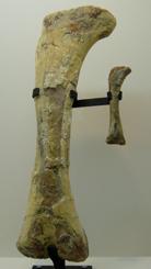 542ニジェールサウルス実物*70.jpg