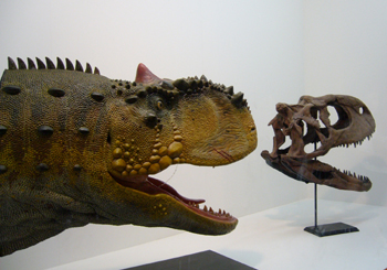 608ラジャサウルス頭骨 レプリカ*70.jpg