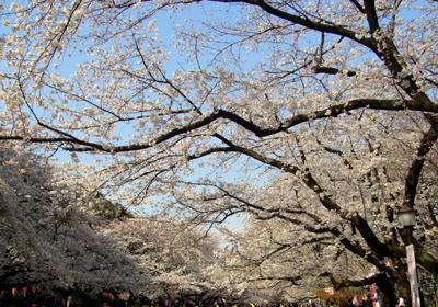 680桜*80.jpg