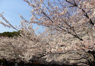 683桜*80.jpg