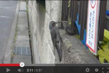 ④-9YouTube★mpg2013 07 04ヒヨドリ子供 70.JPG