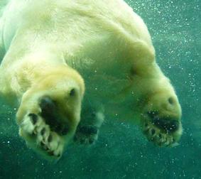 北極ぐま 足うら肉球2wmv動画切出 72 8.9x10*.jpg