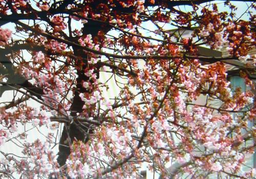 P1040459熱海桜 100.jpg