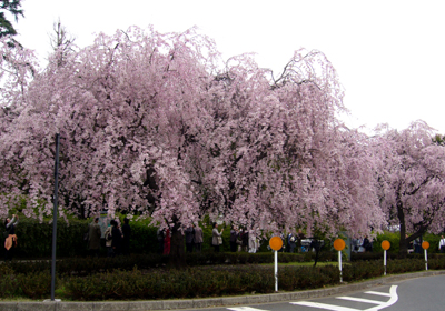 P1060152平川門前高速入口しだれ桜*80 8.9x12.7.jpg