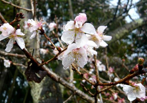 05冬桜 100☆.jpg