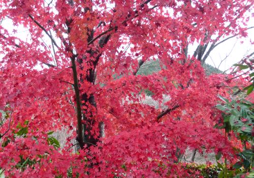 06桜山公園 楓紅葉 100☆.jpg