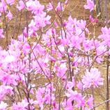 14 P1060109ピンクの花*45 8.9x.jpg