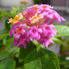 2008.10.09ランタナ2 70.jpg