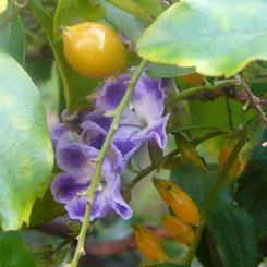 2009.11.22紫式部2 70.jpg