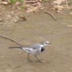 2009.12.09野鳥ハクセキレイ3 70.jpg