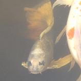 37 P1060141鯉 人面鯉拡大 45 8.9x.jpg