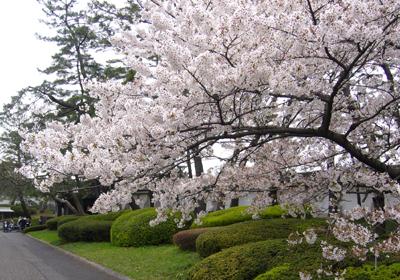 39 P1060150桜*80 8.9x12.7.jpg