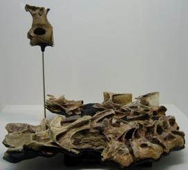 544ニジェールサウルス実物*70.jpg