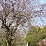 693しだれ桜まだ蕾*45.jpg
