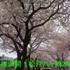 八ヶ崎桜並木 1:38音小題字V1 20.jpg